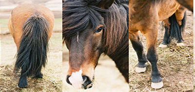 Icelandic horses photography